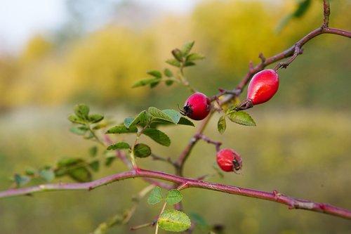 Mežrožu, vaisinės įstaigos, raudona, vaisių, krūmas, Laukinė rožė, rožės, rudens vaisiai, ruduo, pobūdį, augalas