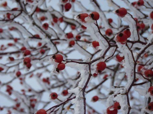 rožinė hip ledas,sniegas,augalas,raudona,ledas,ledinis,krūmas,erškėtis,smailas,uogos,žiema,šaltas