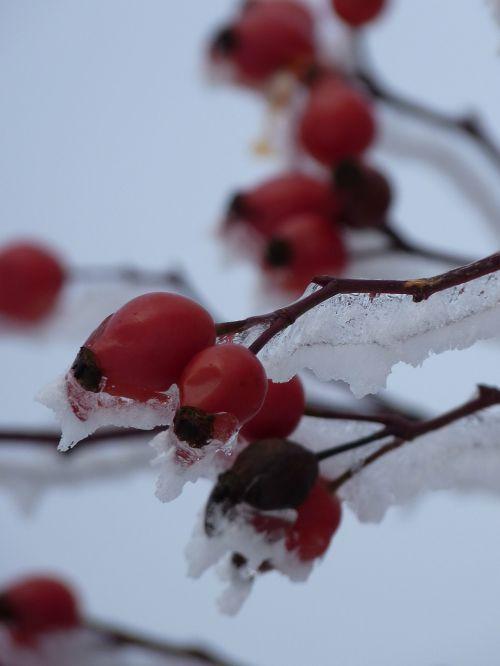 rožinė hip ledas,augalas,krūmas,raudona,ledas,ledinis,erškėtis,smailas,uogos,žiema,sniegas,šaltas