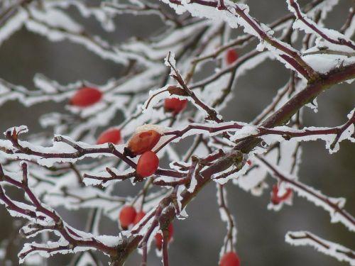 rožinė hip ledas,ledas,ledinis,krūmas,augalas,raudona,erškėtis,smailas,uogos,žiema,sniegas,šaltas