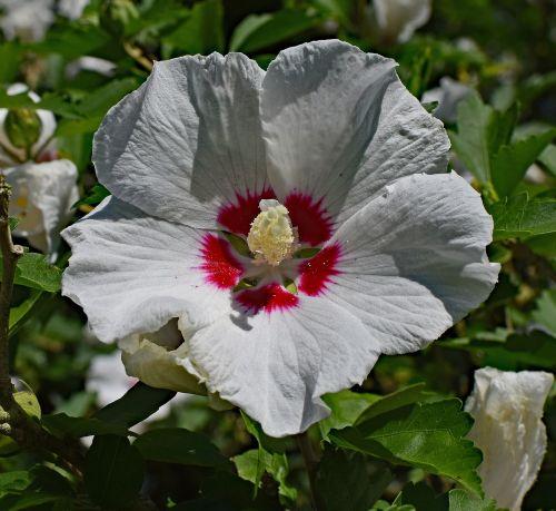 šarono rožė,gėlė,žiedas,žydėti,medis,gamta,sodas,spalvinga,raudona,geltona,balta,vasara