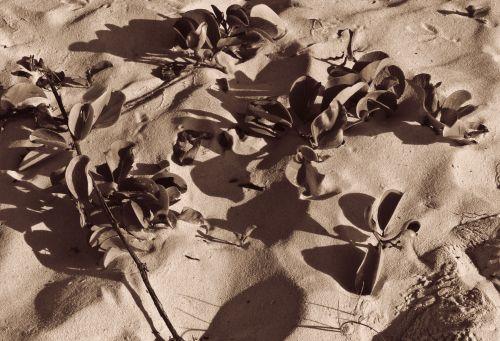augalai, rožė, tamsintas, monotoniškas, selenas, juoda & nbsp, balta, rožių tonuotas paplūdimio augalai