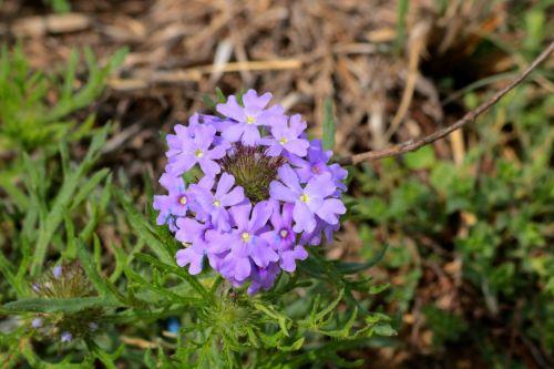 gamta, augalai, gėlės, violetinės & nbsp, gėlės, laukinės vasaros spalvos, violetinės spalvos & nbsp, laukinės spalvos, pavasaris & nbsp, laukinės spalvos, Oklahoma & nbsp, wildflowers, verbena, išaugo & nbsp, verbena, raudona & nbsp, rožė & nbsp, verbena, Iš arti, žalia lapai & nbsp, fonas, ratas, žydėti, rose verbena wildflower close-up