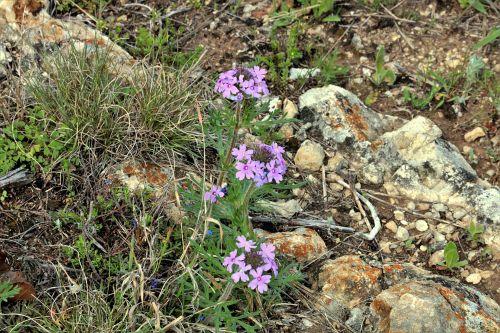 gamta, augalai, gėlės, violetinės & nbsp, gėlės, laukinės vasaros spalvos, violetinės spalvos & nbsp, laukinės spalvos, pavasaris & nbsp, laukinės spalvos, Oklahoma & nbsp, wildflowers, verbena, išaugo & nbsp, verbena, raudona & nbsp, rožė & nbsp, verbena, auga, laukinė & nbsp, žolė, spalvinga, akmenys, Oklahoma, šalies laukas, pavasaris, rožinės verbenos laukinės spalvos