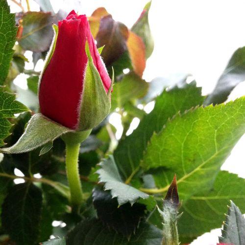 rosenknup,rožė,raudona,gėlė,fonas,rožės,valentinas