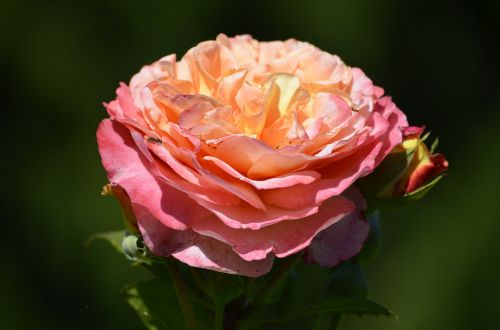 rožės,rožinis,romantiškas,gėlė,šlovės,žiedas,žydėti,gamta,nuostabus,dviguba gėlė