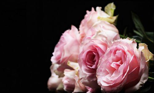 rožės,kilniosios rožės,rožinis,rožinės rožės,gėlės,flora,švelnus,atvirukas,atvirukas,gėlių sveikinimas,žemėlapis,rosaceae,žydėti,rūpestis,gulėti rožės,karalienė,karalienė gėlių,kultūros rožės,dekoratyvinė gėlė,dekoratyvinis augalas,Valentino diena,Motinos diena,žydinčios rožės