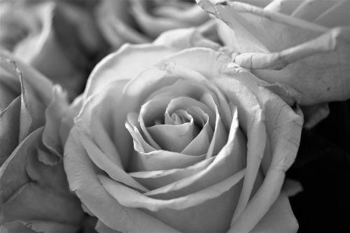 rožės,gėlės,žydėti,gėlė,augalas,juoda ir balta,Uždaryti,balta,juoda,juodos ir baltos spalvos įrašymas,gėlės fotografija,juoda ir balta nuotrauka,žiedlapiai,gamta