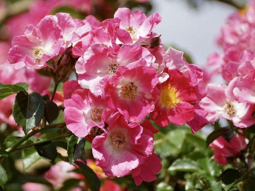 rožės,rožių krūmas,rožinis,gėlė,gamta,sodas,žiedas,žydėti,augalas,vasara,žydėti,Uždaryti,rožinė gėlė,gamtos įrašymas,saldus,gėlės,išaugo žydėti,rožių žydėjimas,sodo rožė,žiedlapiai,gražus,kvepalai,romantiškas,romantika,grožis,šviesus,žinoma