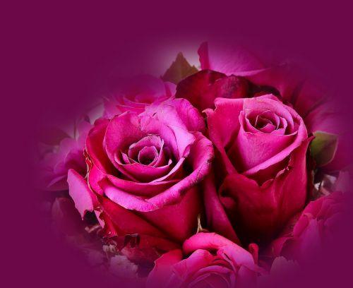 rožės,augalas,rožė,išaugo žydėti,žiedas,žydėti,kvepalai,grožis