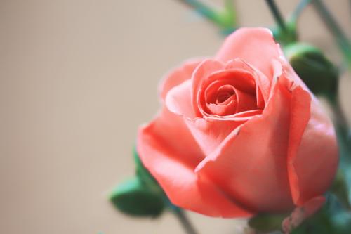 rožės, meilė, gėlė, lakštas, raudona, koralų raudona, raudona gėlė, Raudona roze, gamta, augalas, gražus, Iš arti, makro, be honoraro mokesčio