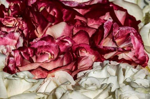 rožės, taurieji rožės, žiedas, žydi, raudonas vynas, baltos spalvos, padidėjo žydėti, gėlė, atviros rožės, kvapnios rožės, romantiškas, rožės yra rozkwitnie, gražus, fonas