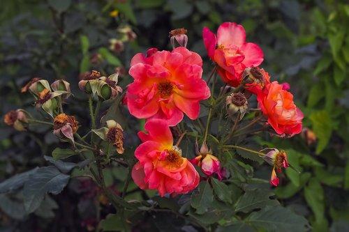 rožės, gėlė, žiedas, žydi, pobūdį, žiedlapiai, lapai, augalų, Sodas, romantiškas, Romantika, Sodo rožė, žydi, Grožio, floros, raudona, išaugo žydi