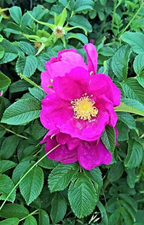 rožės, Laukinė rožė, laukinių augalų, krūmas, rožinė Ragusa, didelės gėlės, rožinis, įmonių žiedadulkių vamzdžiai, labai aromatingas, pobūdį, lietaus lašas