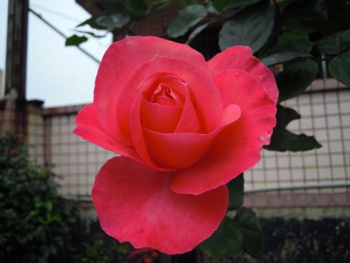 rožės,rožė,pavasaris,Taivanas