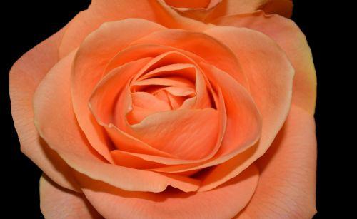 Gėlė,  Makro,  Flora,  Gimtadienis,  Dušas,  Vakarėlis,  Sveikinimai,  Šventė,  Valentine,  Mama,  Tėtis,  Draugas,  Šeima,  Gėlių,  Augalas,  Gamta,  Vynmedis,  Meilė,  Romantika,  Sveik,  Pasiilgau Tavęs,  Rožės Flora Izoliuotos Gėlės