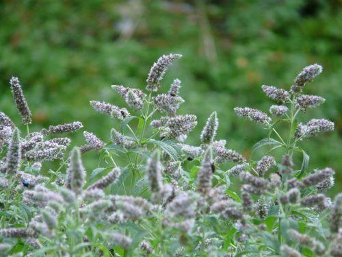 ross mint,mentha longifolia,žiedas,žydėti,mėtų,menta,lamiaceae,laukinė gėlė,laukinis augalas,rožinis,pilka,panicle branches,slydimo ausys,šveitimas,laukinis augimas,laukinis pievas