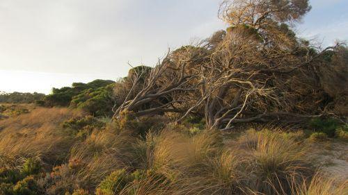 rottnest sala,sala,australia,rottnest,ištemptas,įėjimas,Vakarų Australija,perth,šveitimas,šepetys,windswept,gamta,lauke,augalai,krūmai,užsitęsę medžiai,žolė