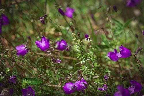 apvalios lapinės drebulys,Campanula rotundifolia,gėlė,violetinė,aštraus gėlė,gamta,žiedas,žydėti,gėlė violetinė,purpurinė gėlė,Uždaryti,vasara,pieva,augalas,laukinė gėlė