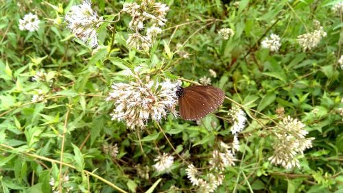apvalios sparnos varnos drugeliai,juodos varpos drugeliai,apvalios varpos drugeliai,drugelis,nymphalidae,pieno vaisių drugelis
