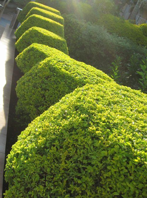 krūmai, žalias, šviesus, Apkarpyti, erškėtis, formos, formos krūmų sluoksnio eilė