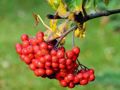 rowan,uogos,ekologiškas,Žemdirbystė,lauke,aplinka,lapai,filialai,gamta,rowanberry,krūva