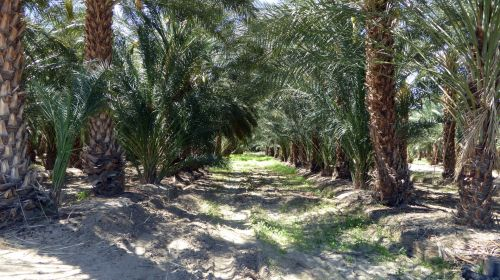 palmių & nbsp, medis, date & nbsp, palm, datas, vaisiai, Kalifornija, indio, maistas, Žemdirbystė, derlius, ūkis, palmių & nbsp, medžiai, medžiai, eilutės, lauke, dienos palmių eilutės