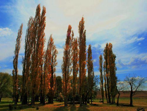 medžiai, tuopa, aukštas, russet, ruduo, rusvai paprikos medžiai