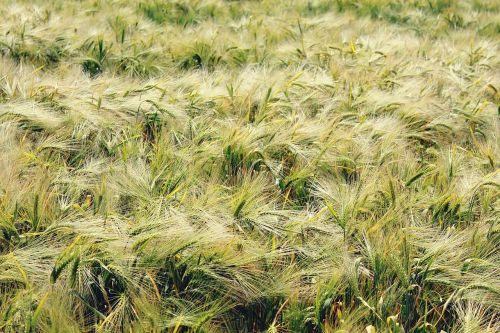 Gersten,miežių laukas,grūdai,grūdai,maistas,laukas,kukurūzų laukas,augalas,maistingi miežiai,Žemdirbystė,mityba,gamta,žinoma,auksas,nuotaika