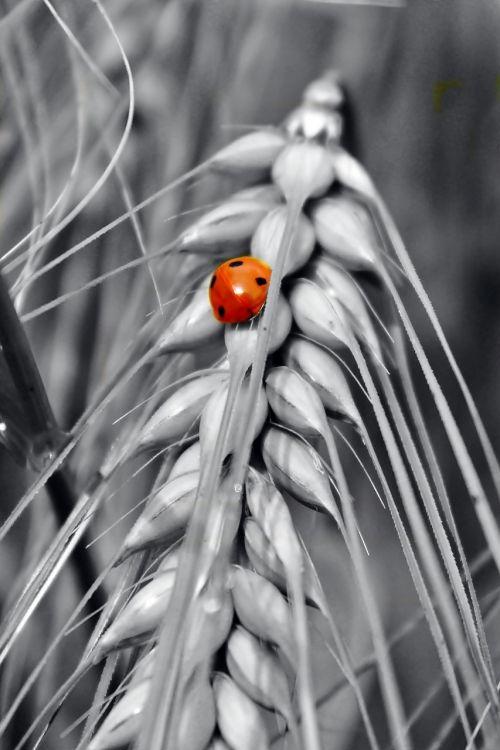 Gersten,grūdai,grūdai,gamta,laukas,Žemdirbystė,miežių laukas,augalas,ariamasis,Boružė,vasara,kukurūzų laukas