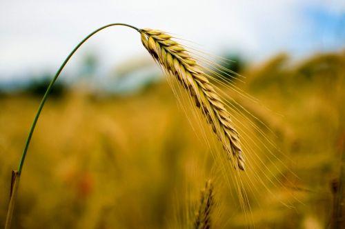rugiai,grūdai,kvieciai,gamta,grūdai,laukas,ausis,rugių laukas,kukurūzų laukas,augalas,duona,mityba,maistingas rugius,maistas,Žemdirbystė,vasara,rugių laukas,debesuotumas,vakaras,saulėlydis,kraštovaizdis,derlius,prekė,valgyti,debesys,miežiai,žalias,ariamasis,saulė,vanduo,žolė