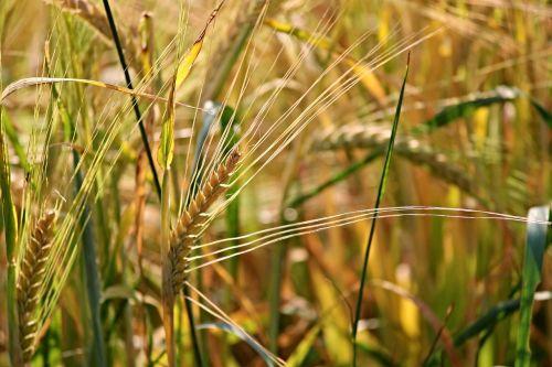 rugiai,grūdai,spiglys,subrendęs,nesubrendusio,kukurūzų laukas,laukas,Žemdirbystė,gamta,grūdai,maistingas rugius,maistas,augalas,rugių laukas,ariamasis,vasara,prekė