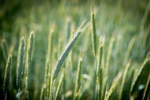 rugiai, grūdai, laukas, ausies, maitinamasis rugių, duona, maisto, rugių laukas, ariama, Žemdirbystė, Niva, maisto produktas, auginimas, grūdų, augalų, mitybos, valgyti