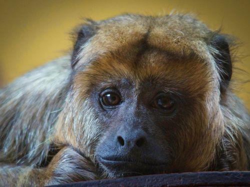 liūdesys,zoologijos sodas,vergija,depresija,beždžionė,gamta,fauna,zoologijos sodas,narve