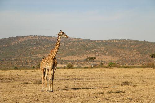 safari,žirafa,gamta,laukinė gamta,dykuma