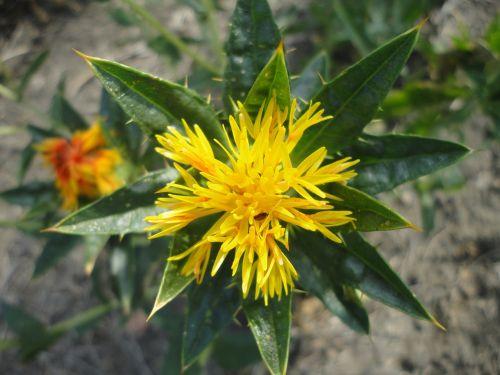 dygminas,gėlė,geltona,aliejus,gamta,gėlės,žiedlapis,balta,augalas,žydėjimas,laukas,geltona gėlė,vaisių sodas,gėlių laukas,Carthamus tinctorius,Viduržemio jūros,erškėčių,oranžinė gėlė,šafranas,Viduržemio jūros augalai,Viduržemio jūros kraštovaizdis
