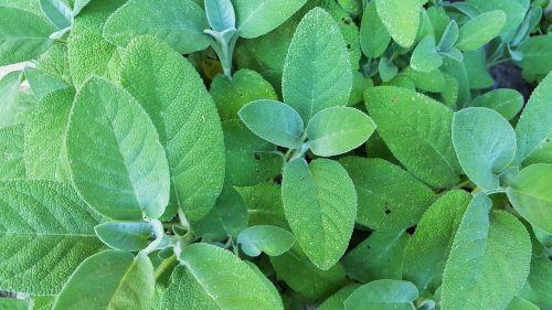 šalavijas,salvija,krūmas,lapai,žalias,sodas,gėlė,gamta,Uždaryti,makro,vasara,flora,augalas,virtuvės žolelių,prieskoniai,virtuvė,vaistinis augalas,botanika,vaistinis augalas,vaistažolių medicina,vaistiniai augalai,natūropatas,sveikas