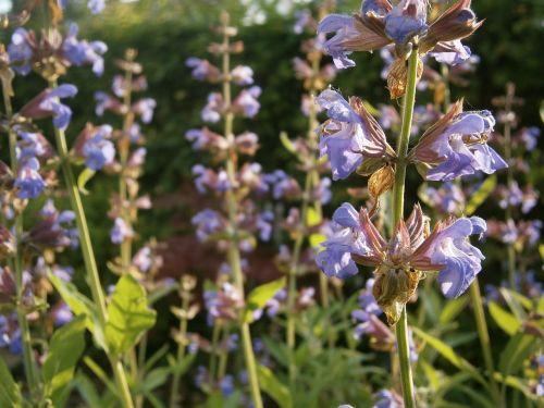šalavijas,grybų augalas,sodo augalas,sodas,augalas,gamta,vaistinis augalas,vasara,gėlė,į sveikatą,vaistiniai augalai,grybų gėlė,gėlės,lamiaceae,vaistinis augalas,violetinė,violetinė,žalias