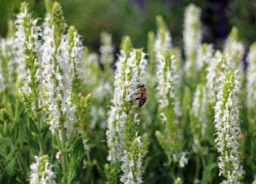 šalavijas,balta,sodo šalavijas,krūmas,dekoratyvinis augalas,lamiaceae,žiedas,žydėti,vaistinis augalas,kvapus augalas,sodo augalas,sodo prieskonių augalas,pasėlių,laukinis augalas,bičių,apdulkinimas,vabzdys