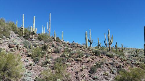Saguaro,kaktusas,kaktusai,Arizona,dykuma,kraštovaizdis,gamta,augalas,dykuma,augmenija
