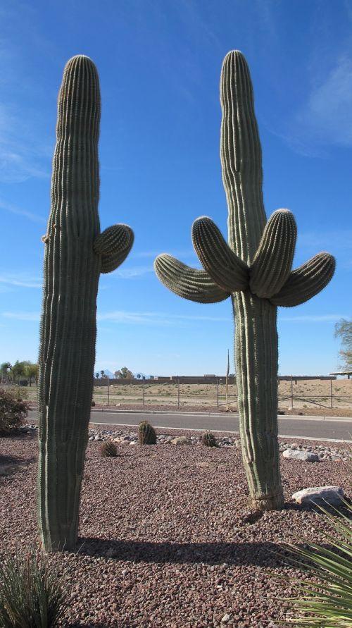 Saguaro, Dykumos Augalai, Kaktusas, Arizona, Sonoran Dykuma, Chihuahuano Dykuma