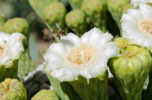 Saguaro,kaktusas,gėlė,žiedas,bičių,Arizona,pietvakarius,Sonoran,vabzdys,žiedadulkės,žydėti,dykuma,gamta,apdulkinimas,žiedlapis,makro