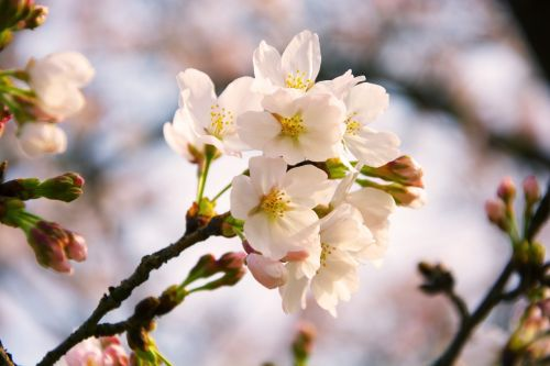 Sakura,kalmaras,ya,taip taip taip