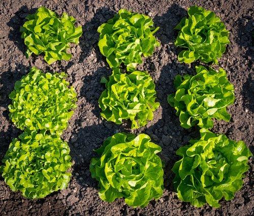 salotos, salotos, pavasaris, lova, sveiki, žalias, mitybos, valgyti, šviežias, vitaminai, daržovių sodas, maisto, vadovas salotos, Sodas, sodininkystė, žalios salotos, lapai, geschlossener salotos