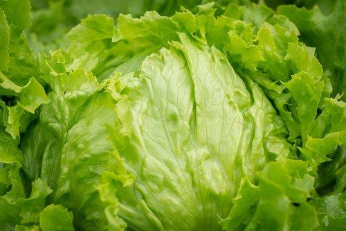 salotos, vadovas salotos, Iceberg salotos, sveiki, žalias, žalias maistas, daržovių sodas, Sodas, daržovės, šviežias, žalias, sodininkystė, salotų lapai, Iš arti, Vegetarų, vitaminai