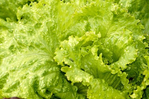salotos, salotos, žalios salotos, Iceberg salotos, daržovės, lapai, sveiki, šviežias, žalias, mitybos, vitaminai, dieta, veganas, maistas