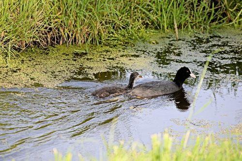 kačiukas, vanduo & nbsp, paukštis, paukštis, gyvūnas, gamta, vanduo, griovys, polderis, kartu, kartu