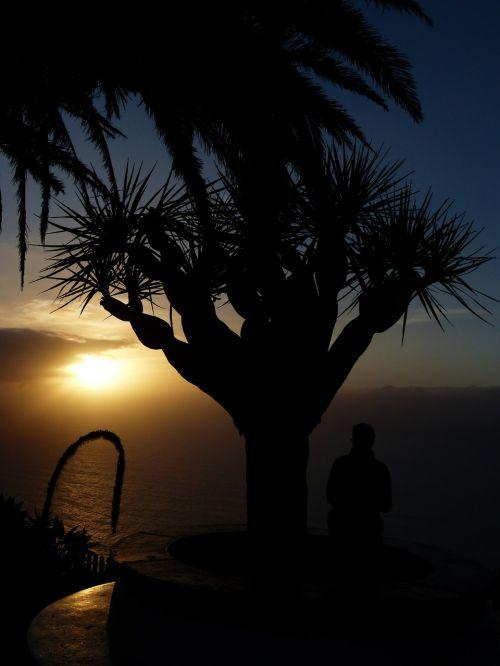 samoga,požiūris,el sauzal,kranto,Tenerifė,Kanarų salos,saulėlydis,drakonas medis,drakonas medis-agavas,Agave attenuata,agavė,agavengewächs,gooseneck-agavė