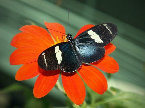 Sara longwing,drugelis,vabzdys,heliconius sara,spalvinga,makro