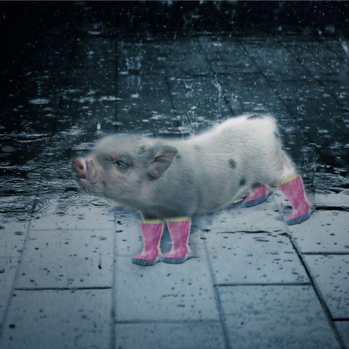 lietus, kiaulė, blogas & nbsp, oras, drėgnas & nbsp, oras, šlapias, juokinga, oras, mielas, purslų, drėgnas oras